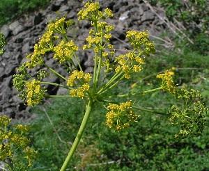 Ферула джунгарская (омик), внешний вид растения, описание