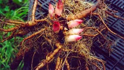 Купить корни пиона