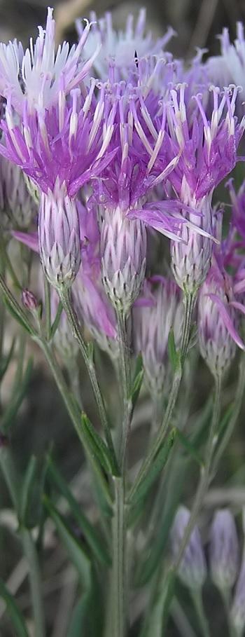 Соссюрея иволистная трава Соссюрея иволистная отзывы