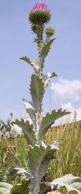 татарник трава фото