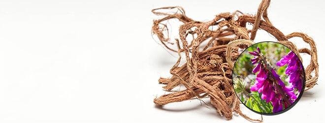 Красный корень рекомендуется при заболевания мочеполовой системы
